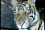 Penyebab Harimau Masuk Pasar Hingga Terjebak di Kolong Ruko Menurut BKSDA
