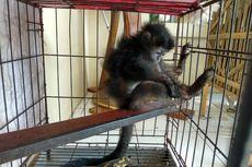 Jual Primata Langka Melalui Medsos, Sopir Truk Ditangkap di Jepara