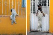Seekor Anjing Terjepit di Pagar dan Temannya Datang Membantu
