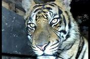 3 Fakta Unik Harimau Sumatera 'Atan Bintang', Disebut Pintar hingga Sulit Dievakuasi