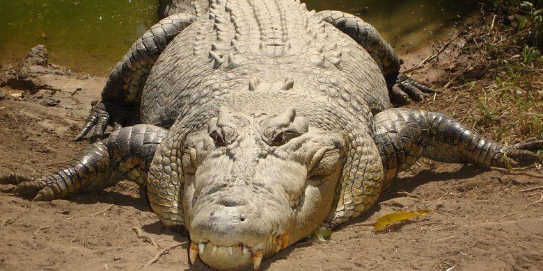 Ilustrasi buaya muara (Crocodylus porosus)