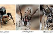 Seukuran Beras, Inilah Spesies Baru Laba-laba 'Bertato' Asal Australia