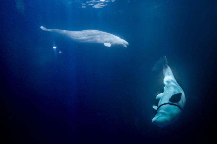 Ilustrasi paus beluga atau paus putih