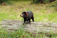 Ada Kadal Beranak dan Hewan Berkeringat Susu di Tasmania