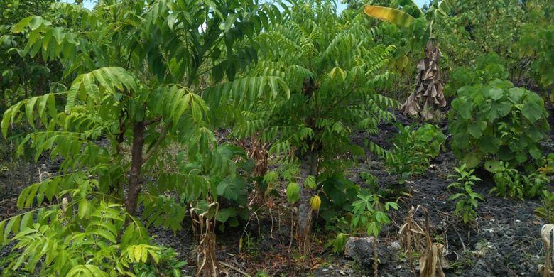 Tanaman warga Liya Togo, Pulau Wangi-Wangi, Kabupaten Wakatobi, Sulawesi Tenggara, yang harus ditanam di sela-sela batu.