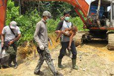 BKSDA Aceh Evakuasi Orangutan yang Terjebak di Kebun Sawit Warga