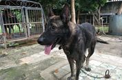 Anjing Pelacak dari Belanda Harganya Capai Rp 176 Juta Per Ekor