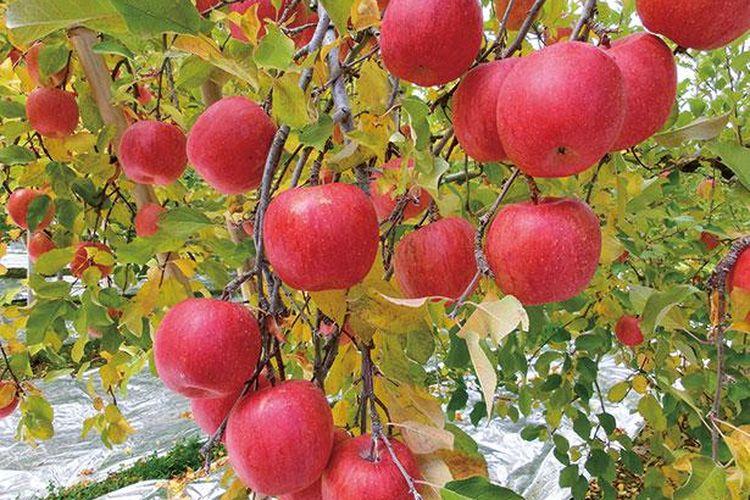Kamu akan terkejut dengan manisnya apel langka yang matang dari pohon.