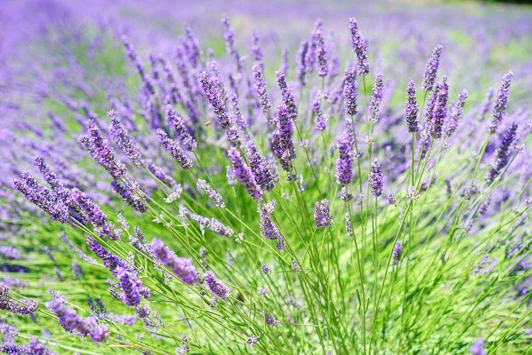 Bunga lavender.