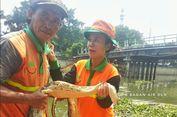 Ular Sanca 5 Meter Ditemukan di Kali Mookervart