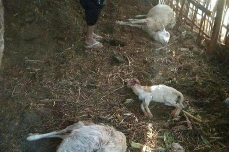 Macan Tutul Gunung Lawu Masuk Permukiman Terkam 8 Ekor Kambing