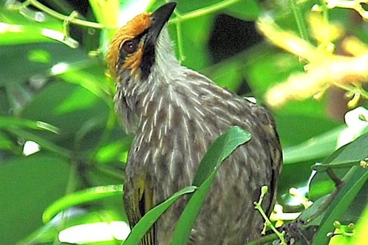Burung cucak rawa (Pycnonotus zeylanicus) salah satu jenis burung kicau yang status perlindungannya dicabut.