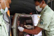 Orangutan Sitaan di Bandara Ngurah Rai Dititipkan di Bali Safari