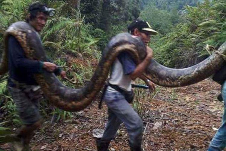 Warga sebuah desa di Serawak, Malaysia mengangkut seekor ular piton berukuran enam meter yang sudah mati untuk disantap.