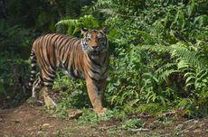 Tim Gabungan Terus Cari Harimau yang Bunuh Wanita Pekerja Sawit di Riau