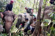 Pantau Pergerakan, BKSDA Pasang GPS pada Kelompok Gajah Liar di Aceh Timur