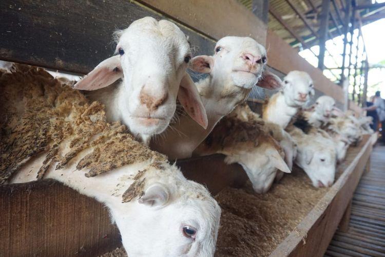 Ternak domba yang dikespor pada 2018 ini adalah domba jantan jenis ekor tipis yang diperuntukkan sebagai hewan ternak.