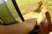 Turis di Afrika Selatan Nekat Tepuk Punggung Singa Liar dari Mobil