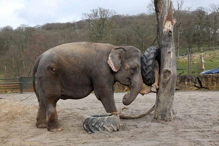 Gajah bernama Anne dipukuli ketika masih bergabung di Super Sirkus Bobby Roberts. Dia diselamatkan pada 2011. (Daily Mail)
