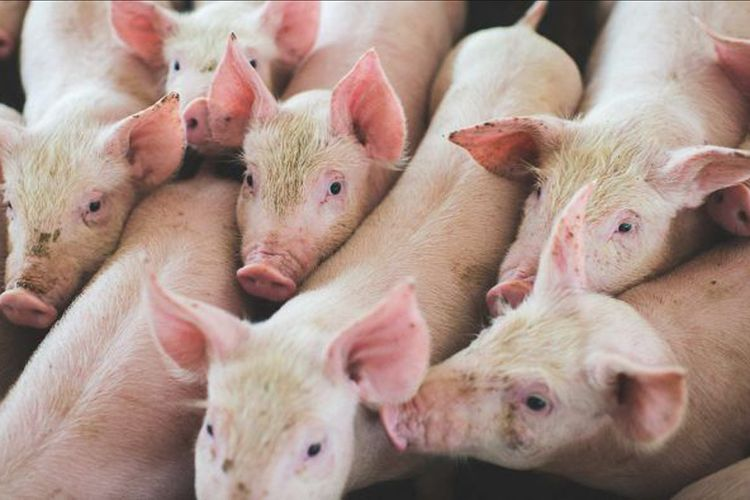 Menebak Pihak Paling Merugi dalam Perang Dagang AS-China - Kompas.com Internasional kompas Daging babi merupakan salah satu komoditas ekspor utama Amerika Serikat ke China.