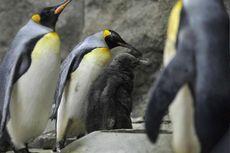 Kedinginan, Kebun Binatang Terpaksa Masukkan Penguin ke Dalam Ruangan