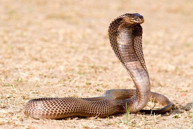 Ular kobra.