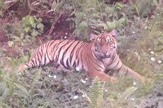 Sebelum Terkam Karyawan Perusahaan di Riau, Harimau Sumatera Sudah Sering Muncul