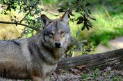 Lindungi Ternak Warga, Pemerintah Perancis Terjunkan 'Brigade Serigala'