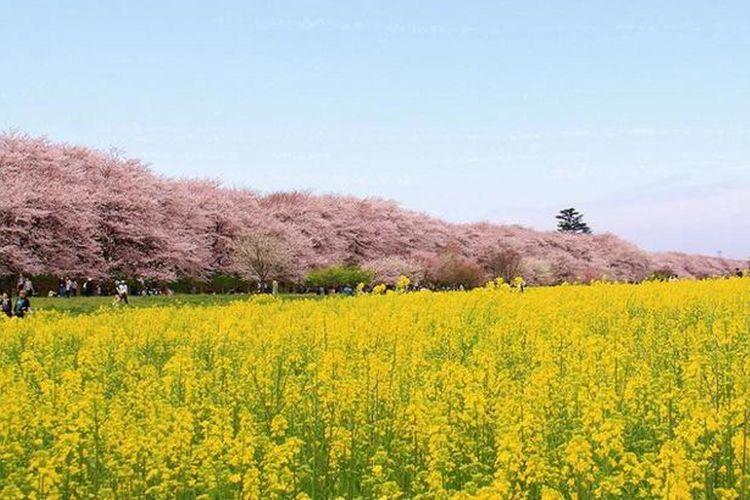 """""""Satte Gongendo Sakura-tsutsumi"""" yang sedang menjadi perhatian media karena keindahan panorama sakura dan nanohana yang luas."""