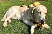 Seekor Anjing Jadi 'Bapak Angkat' Sembilan Anak Bebek