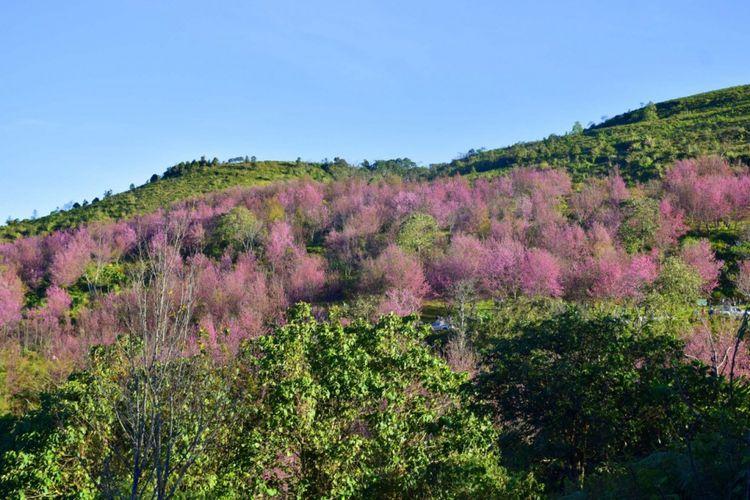Hamparan sakura bisa ditemukan di lereng Phu Lom Lo, Taman Nasional Phu Hin Rong Kla , Thailand.