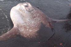 Mengenal Ikan Mola Lewat Kasus Terdamparnya
