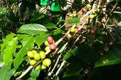 Bondowoso dan Cerita Produksi Kopi Arabica Java    Ijen Raung