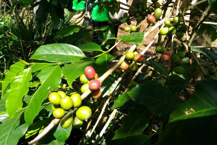 Kabupaten Bondowoso menghasilkan kopi Arabica Java Ijen Raung yang telah menembus pasar ekspor Eropa.