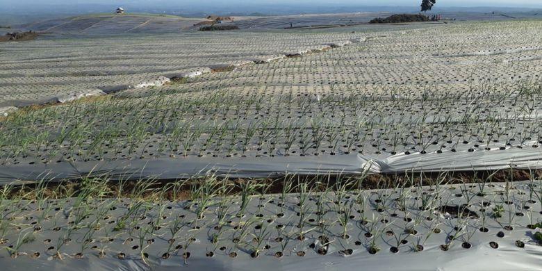 Areal persawahan yang ditanami bawang putih