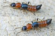 Apa yang Harus Dilakukan Jika Terkena Semut Charlie Alias Tomcat?