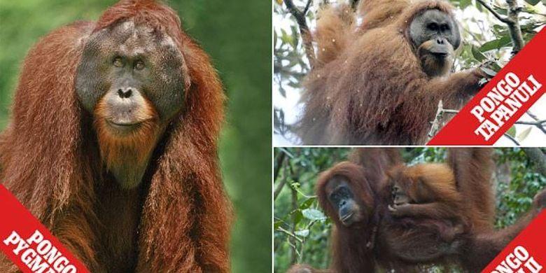 Tiga spesies Orangutan: (ki-ka) Orangutan Kalimantan, kanan atas Orangutan Tapanuli, dan kanan bawah Orangutan Sumatera.