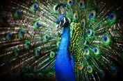 Mabuk Saat Belanja Online, Pria di China Pesan Burung Merak dan Babi