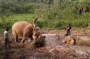 Terjebak di Lumpur, Gajah Winggo Baru Bisa Diselamatk   an 8 Jam Kemudian