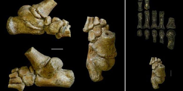 Perbedaan kerangka kaki Australopithecus afarensis dewasa dan anak-anak