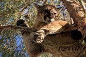 Singa Gunung 'Diselamatkan' dari Sebuah Pohon Dekat Rumah Warga