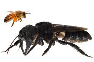 Sembunyi Hampir 40 Tahun, Lebah Terbesar di Dunia Ditemukan di Maluku