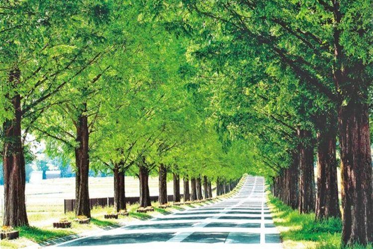 deretan pepohonan Metasequoia Namiki