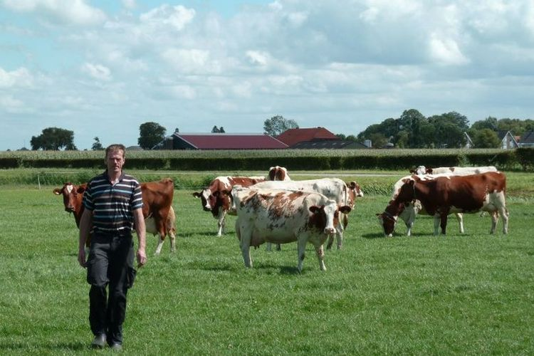 Foto yang diambil pada 4 Agustus 2017 ini memperlihatkan peternak sapi perah Gerard Hartveld (52) dan sapi-sapi di peternakan miliknya di Nieuwveen, Belanda.