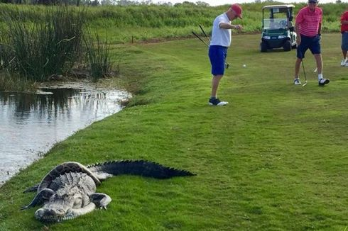 Di Lapangan Golf Florida, Seekor Buaya Bertarung dengan Ular Piton