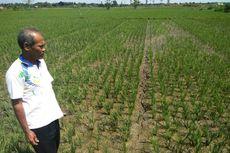 Kekeringan Ancam Ratusan Hektar Padi di Aceh Utara Gagal Panen