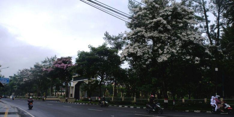 Pohon bunga Tabebuya bermekaran di depan kantor Pemkot Magelang, Jawa Tengah, sepekan terakhir, Senin (23/10/2017).