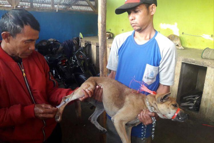 Petugas kesehatan hewan mengambil sampel darah anjing kampung Garut yang telah diberi vaksin rabies. Hal ini dilakukan sebelum anjing kampung Garut dikirim ke Sumatera Barat.