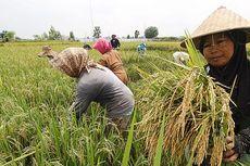 Gagal Panen, Petani di Karawang Tak Merugi Berkat Asuransi Pertanian