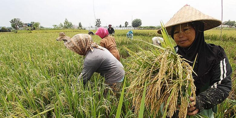 Aktivitas petani sedang memanen padi di sawah